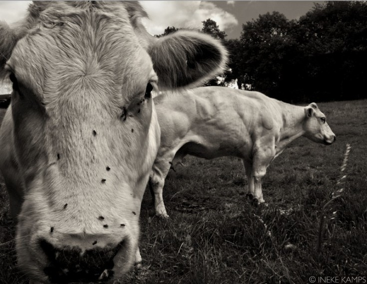 Composition With Cows