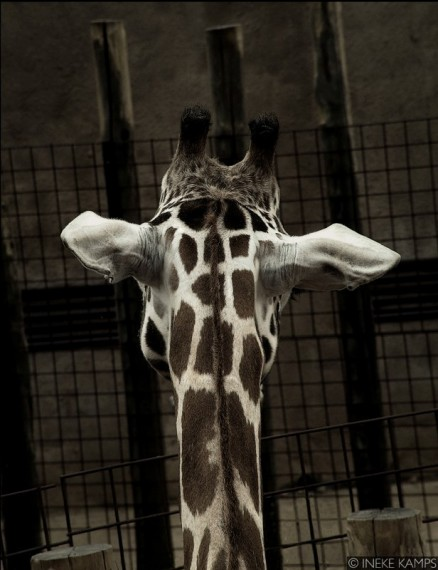 Don't Fence Me In (giraffe)
