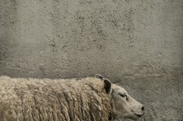 Sheep Against Concrete